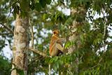 Proboscis Monkey Natural Habitat Tree