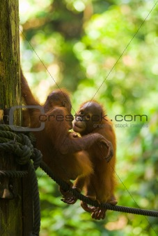 Baby Orangutans Play Rope Vertical