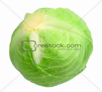 One green cabbage with dew