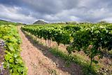 vineyard on gentle slope in Etna region, Sicily