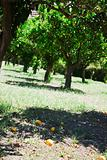 ripe oranges in orchard, Sicily