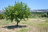 peach tree in Sicily