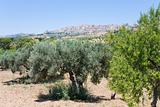 view on town Agrigento through olive and peach garden, Sicily