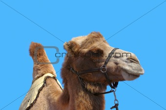 Camel with harness on a blue sky background