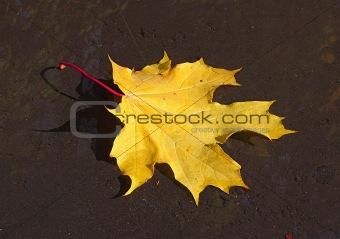 One yellow maple leaf on the moist asphalt