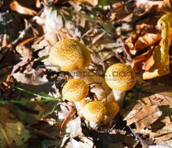 agaric honey