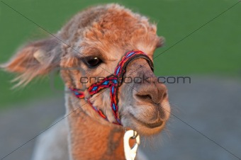 Alpaca with holster