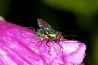 fly, Lucilia caesar.