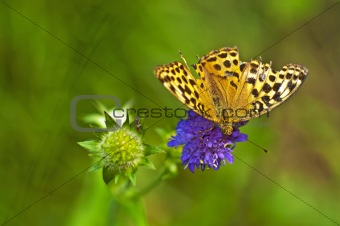 silver-washed fritillary, Argynnis paphia