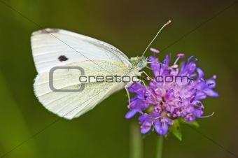 cabbage butterfly, Pieris brassicae