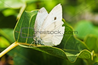 cabbage butterfly, Pieris brassicae
