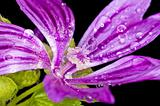 mallow, medicinal plant with raindrops