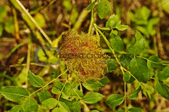 Bedeguar gall wasp, Diplolepis rosae,