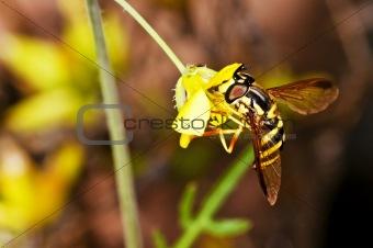 hoverfly, Myrathropa,spec.