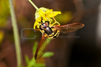hoverfly, Myrathropa,spec.