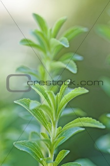 the support of the Stevia rebaudiana