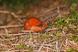 snail, Arion rufus