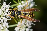 wasp, Paravespula vulgaris