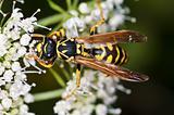wasp, Paravespula vulgaris