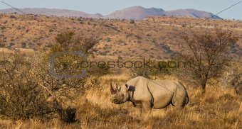 Black Rhino in the mountains