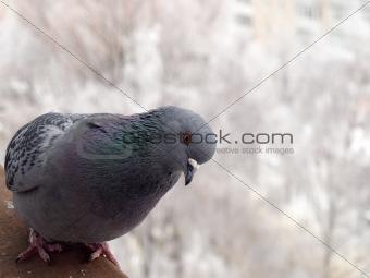 gray dove. winter