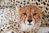 Cheetah cub portrait, Kalahari desert