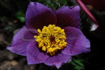 close up anemone bloom
