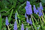 blue grape hyacinth in the spring