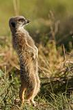 Meerkat (Suricate) sentry on alert
