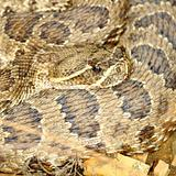 Prairie Rattlesnake (Crotalus viridis)