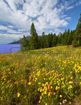 Wildflowers in Grand Tetons