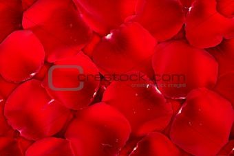 Background dark red of rose petals
