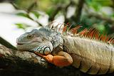 beautiful iguana