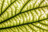 Bauhinia leaf and viens