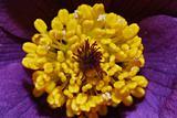 amemone flower bloom
