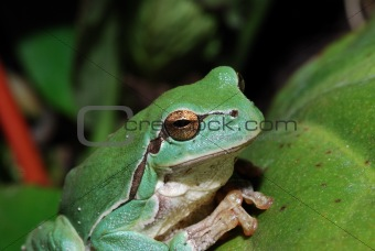 close up green frog