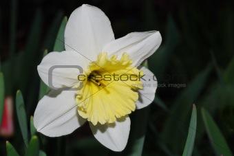 close up narcissus
