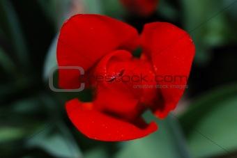 close up red tulip