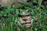 tree frog look into the camera