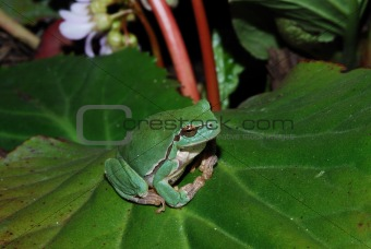 frog sits comfortably on bloom leaf