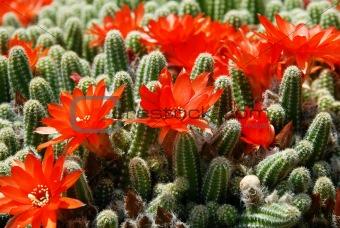 Cactus red flowers