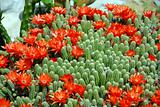 Cactus red flowers