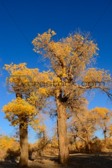 Little yellow leaves tree
