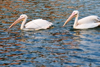 Two pelican birds swimming