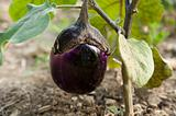young eggplant fruit growing in the garden