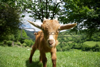 goat staring in Asturias