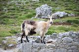 side goat in Asturias