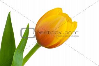 Single Yellow Tulip Bloom
