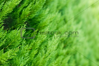 Thuja background