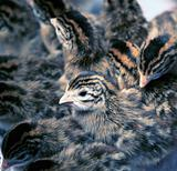 Newborn Guinea Fowl Keets
